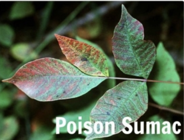picture of a plant and in the corner it says poison sumac