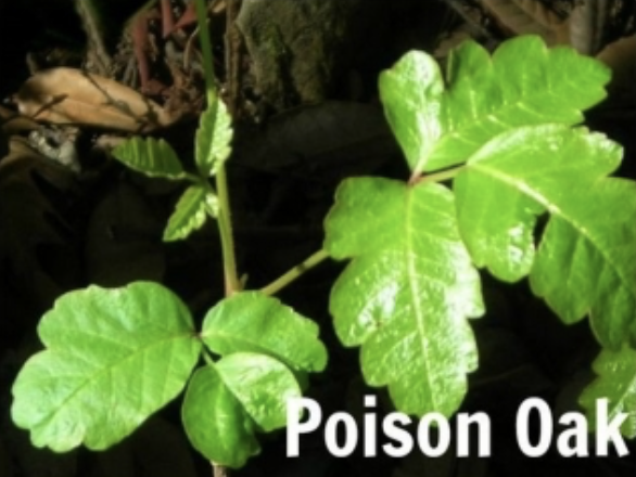 Picture of a plant and in the corner it says poison oak