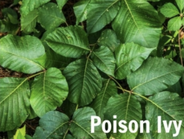 Picture of a plant and in the corner it says poison ivy